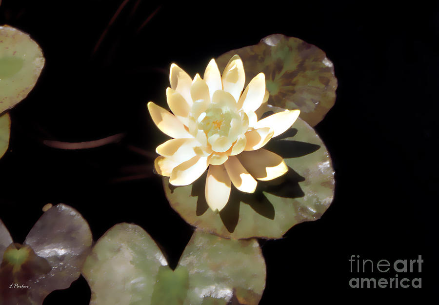 Pond Photograph - Waterlily II by Linda  Parker