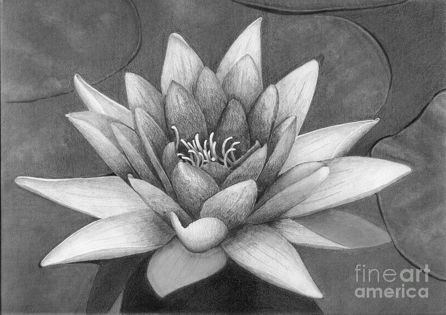 Graphite Drawing - Waterlily by Nicola Butt