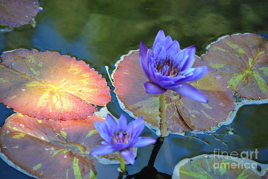 Flower Photograph - Waterlily by Paulina Roybal