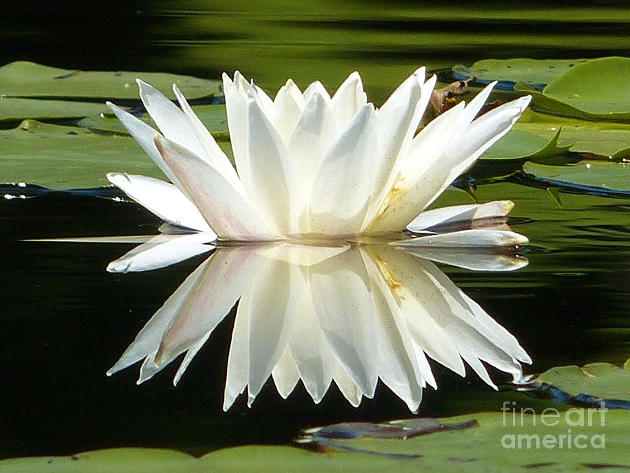 Waterlily Photograph - Waterlily Reflection by Christine Stack