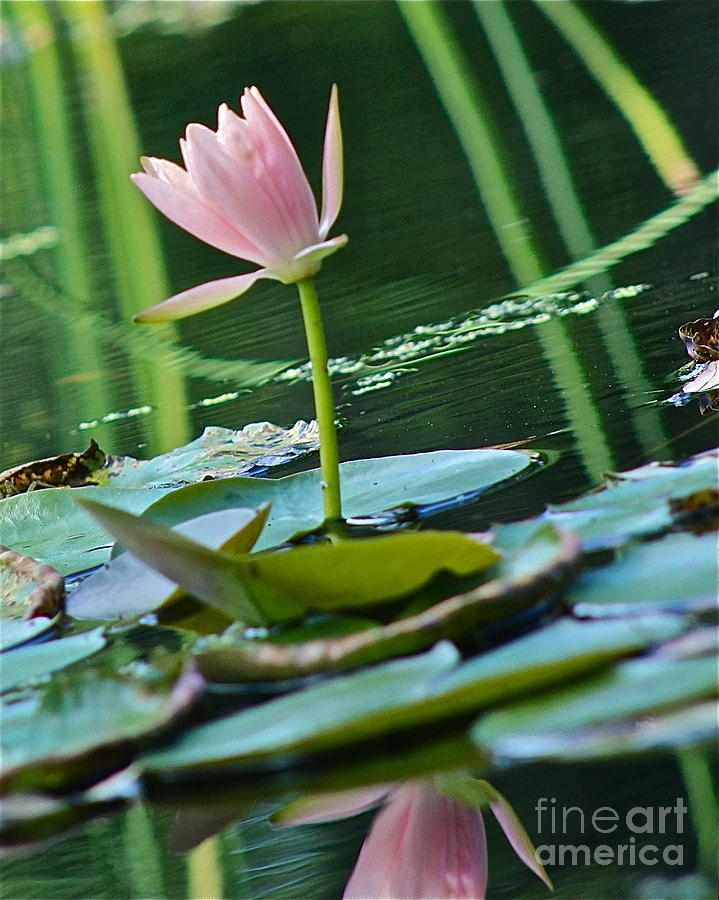 Waterlily Photograph - Waterlily Whimsy by IK Hadinger
