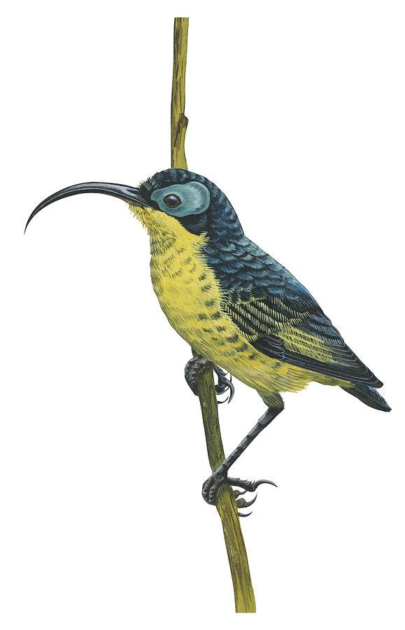 Bird Drawing - Wattled False Sunbird by Anonymous