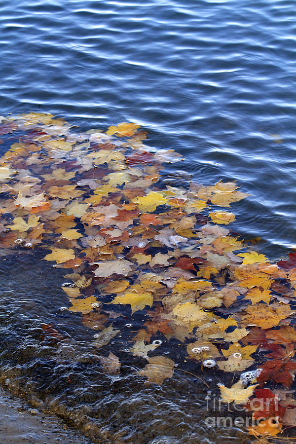 Fall Photograph - Wave Of Fall Leaves by Kathy DesJardins