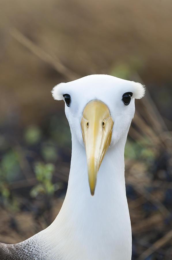 Waved Albatross Espanola Isl Galapagos Photograph by Tui De Roy