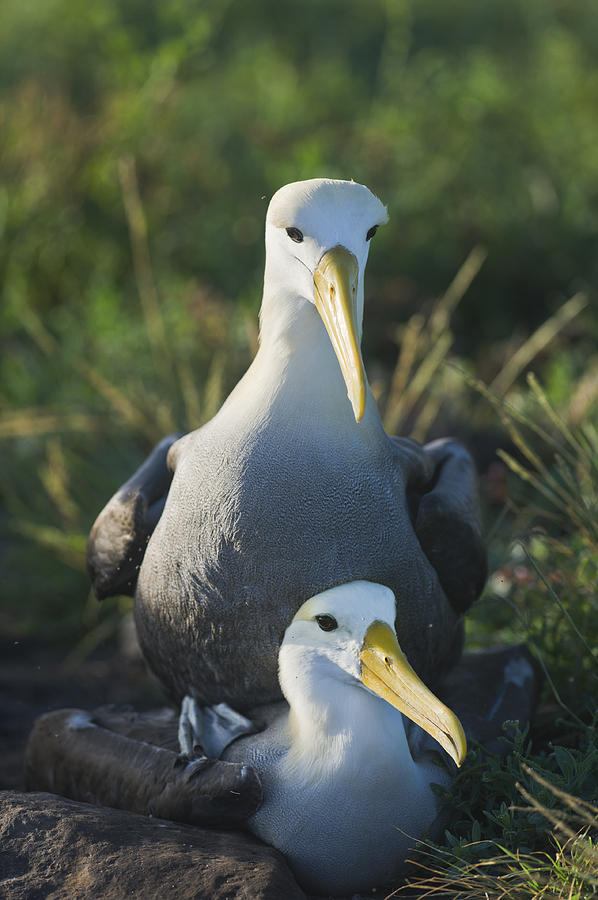 Waved Albatross Photograph - Waved Albatross Mate In Galapagos by Richard Berry