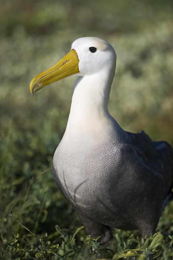 Waved Albatross Photograph - Waved Albatross by Richard Berry