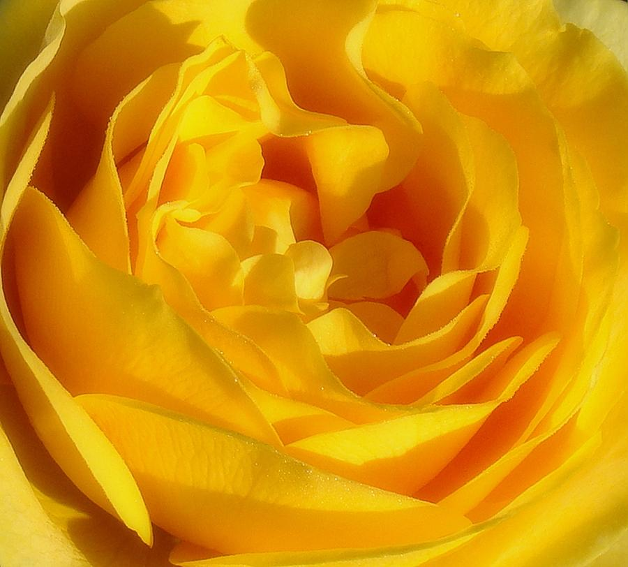 Rose Photograph - Waves Of Gold by Rosanne Jordan