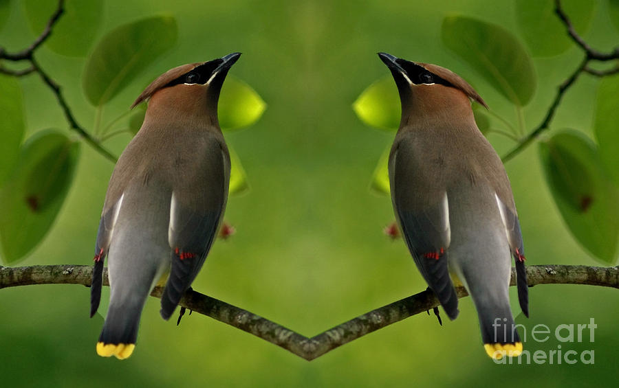 Waxwing Photograph - Waxwing Love by Inspired Nature Photography Fine Art Photography