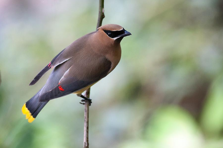 Waxwing On A Wire by Mike Farslow