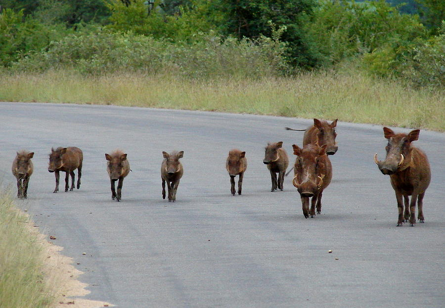 Warthogs Photograph - We Own The Road by Ramona Johnston