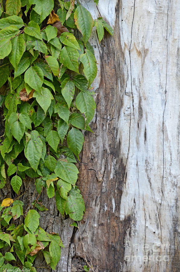 Tree Photograph - Weathered Tree Trunk With Vines by Debbie Portwood
