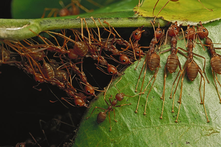 Weaver Ants Pulling On Leaves Photograph by Mark Moffett