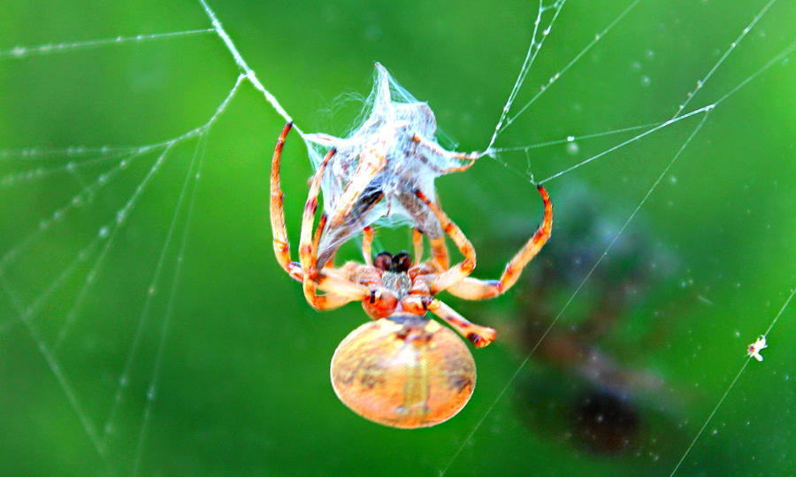 Orb Spider Photograph - Weaving Orb Spider by Candice Trimble