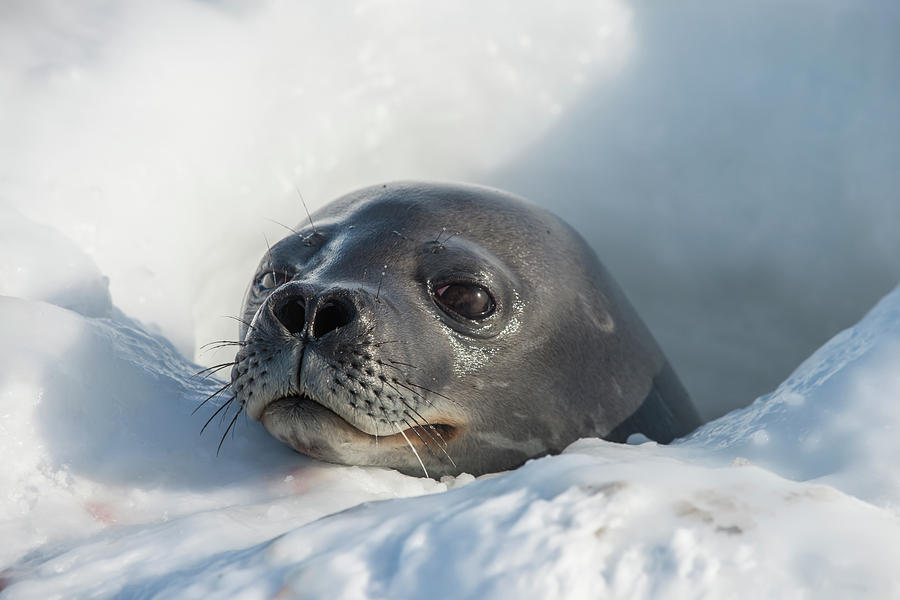 Animal Body Part Photograph - Weddell Seal At A Sea Ice Hole by Alasdair Turner