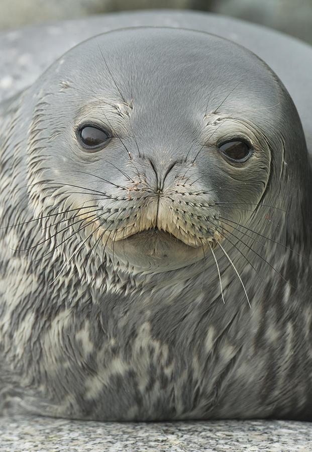 Weddell Seal Petermann Isl Antarctica Photograph by Kevin Schafer