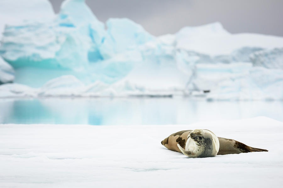 Weddell Seals, Pleneau Bay Photograph by Andrew Peacock