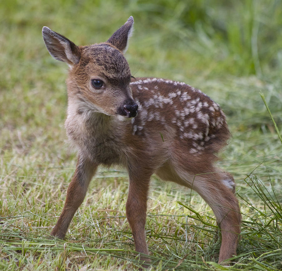 Baby Deer Photograph - Wee Little Bambi by Tracey Levine
