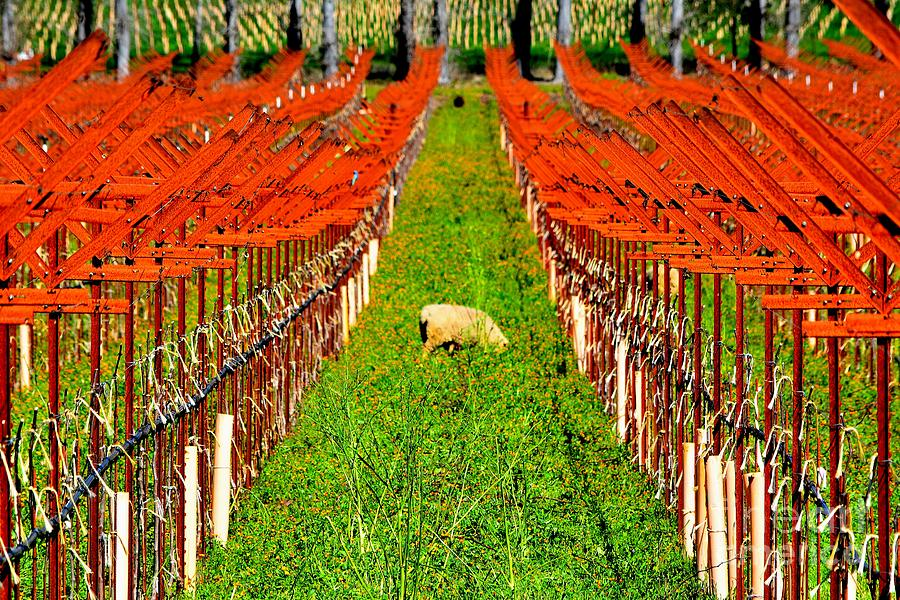 Vineyard Photograph - Weed Control by Beth Sanders
