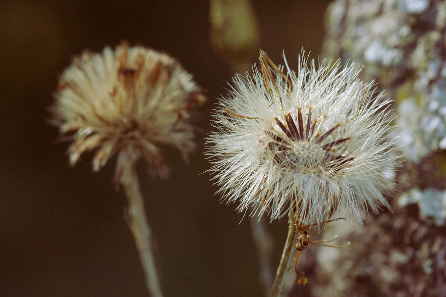 Dandilion Photograph - Weed Travel The World by Sean Green