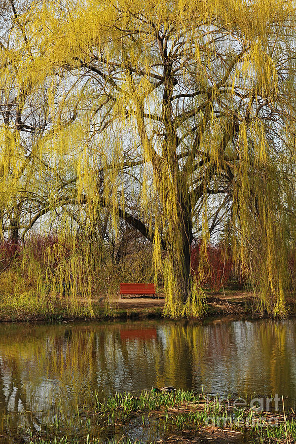 Yellow Photograph - Weeping Willow  by Isabel Poulin