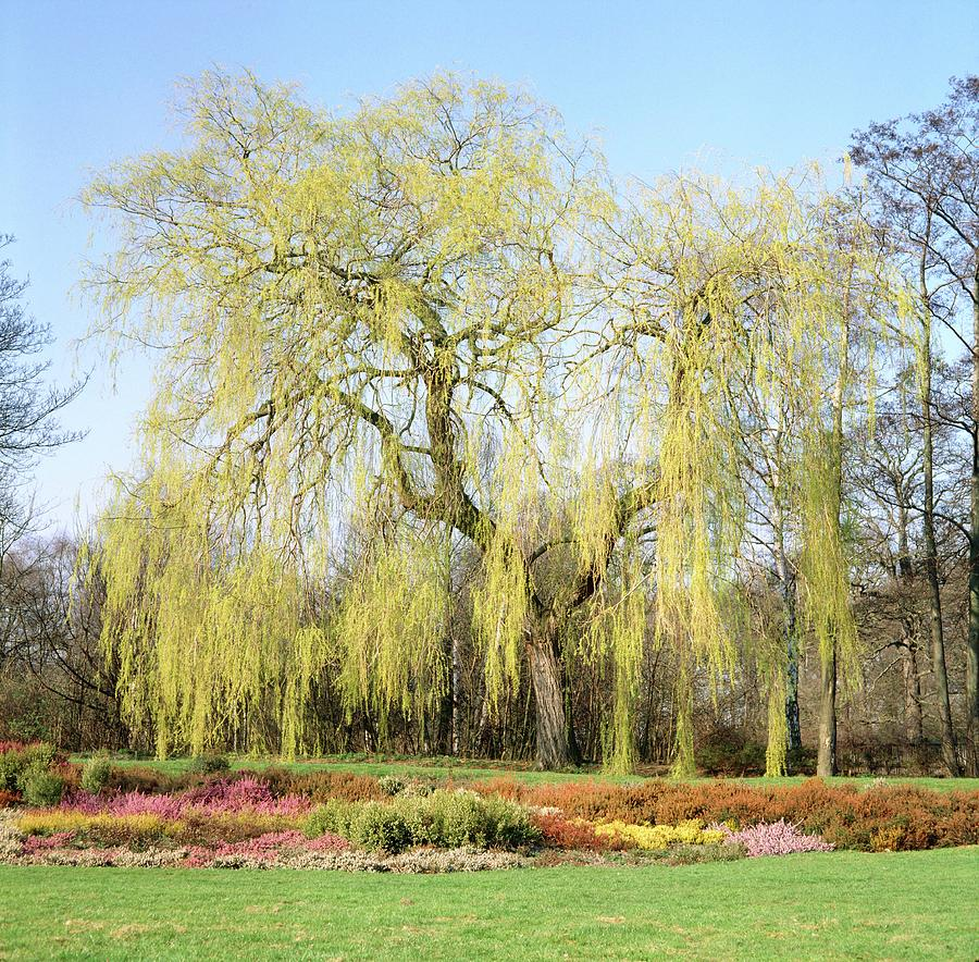 Weeping Willow Tree Photograph - Weeping Willow Tree by Anthony Cooper/science Photo Library