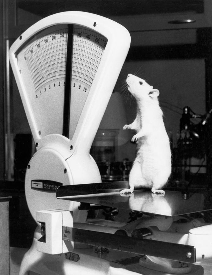 1970 Photograph - Weight Watcher Lab Rat by Underwood Archives