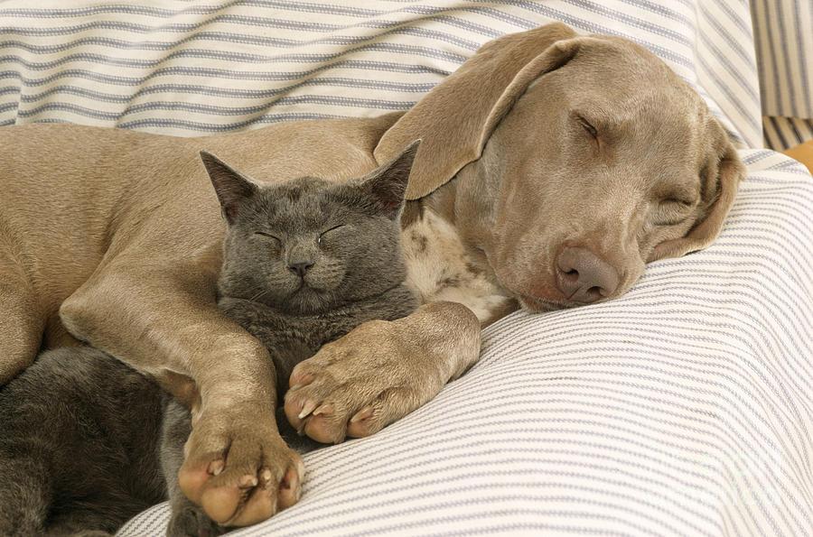 Resultado de imagen para weimaraner and cat