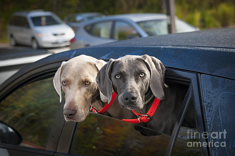 Weimaraner Dogs In Car Photograph