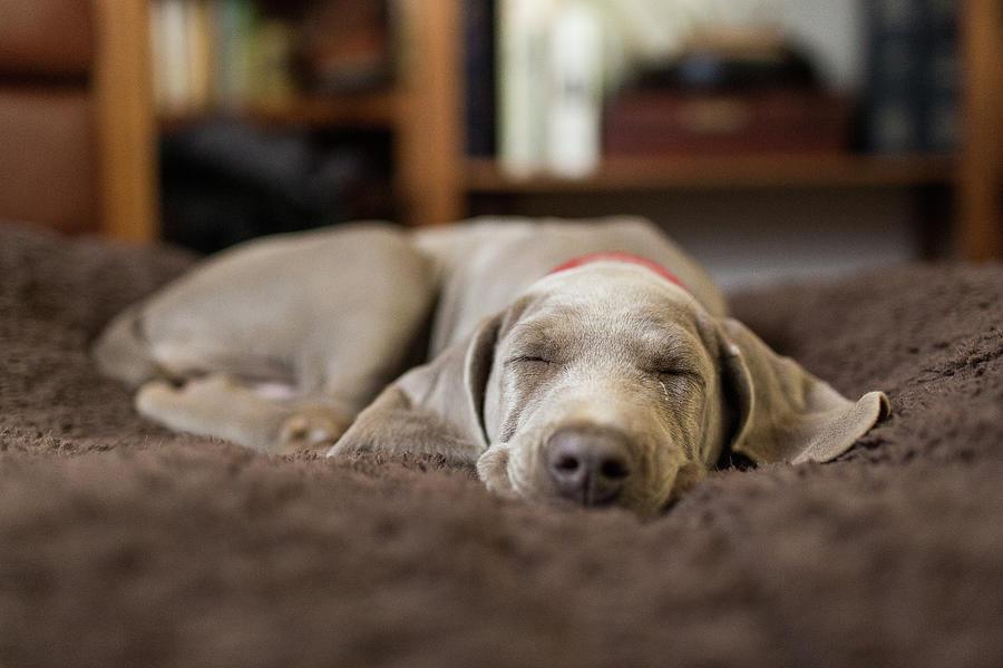 Weimaraner Puppy Sleeping Indoors Photograph by Purple Collar Pet Photography