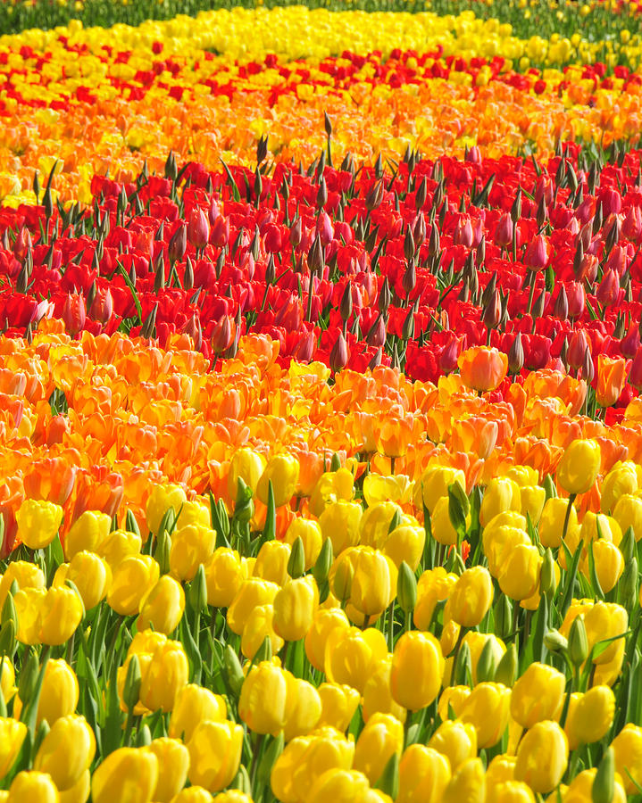 Tulips Photograph - Welcome Spring by Dan Myers