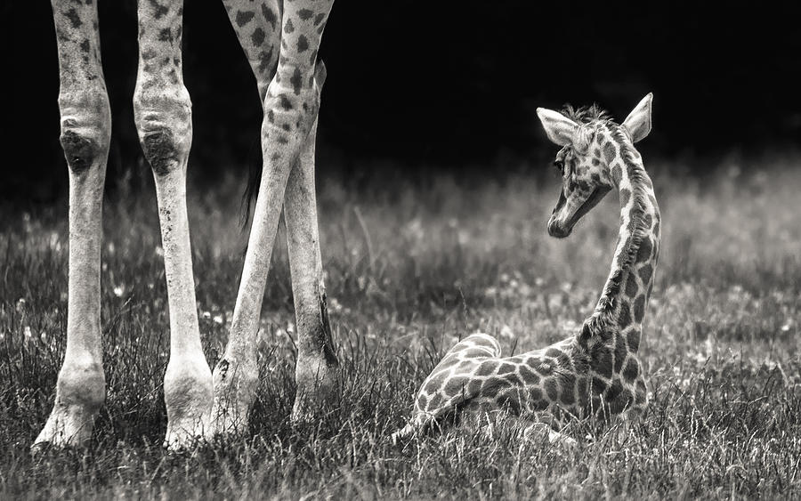 Giraffe Photograph - Well Protected by Andreas Feldtkeller