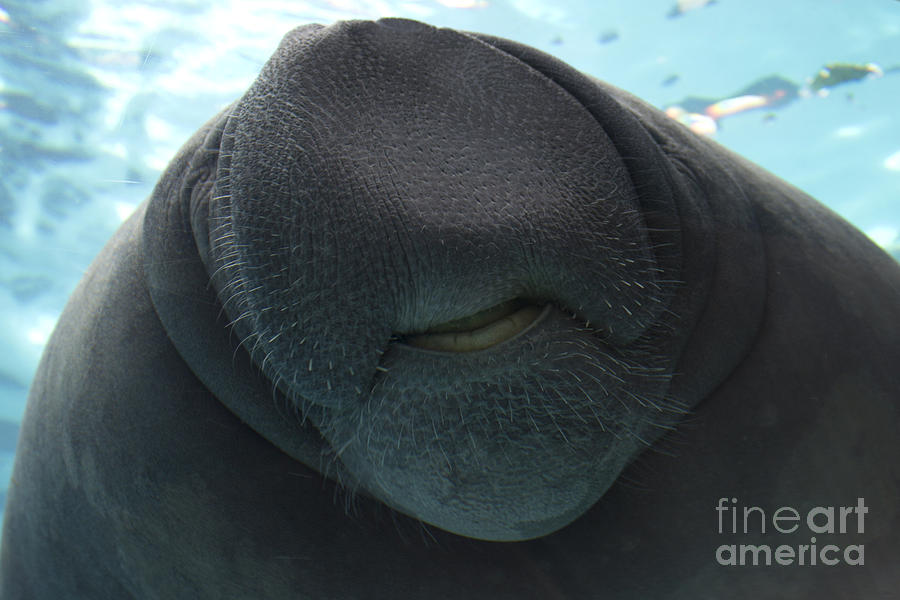 Etonnant West Indian Manatee Photograph   West Indian Manatee Smile By Meg Rousher