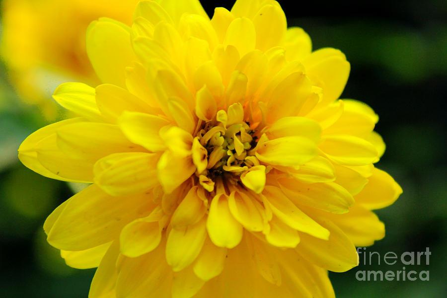 Yellow Flower Photograph - West Virginia Marigold by Melissa Petrey