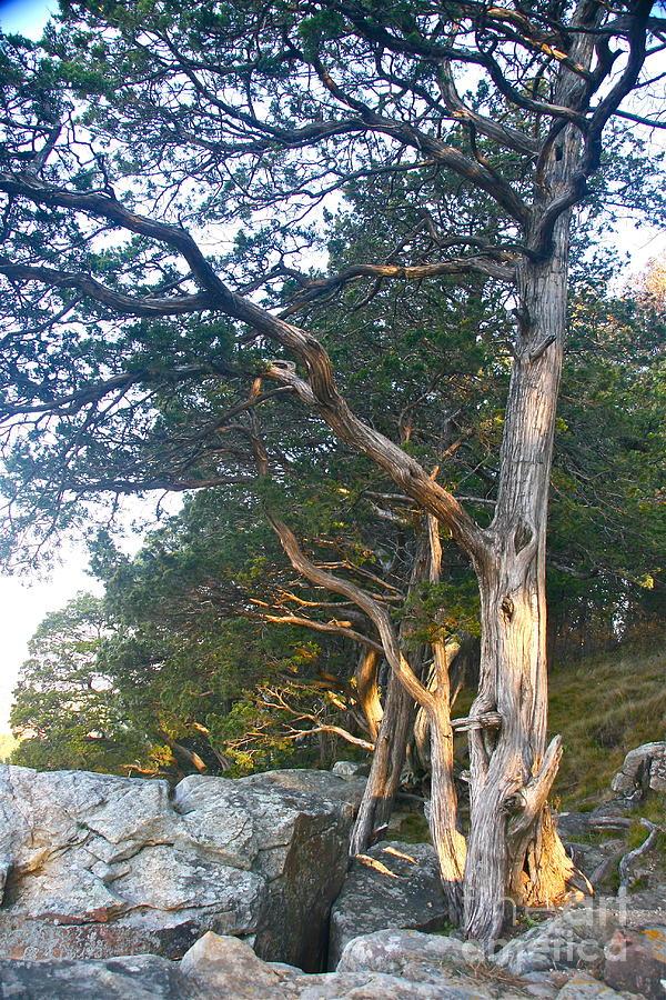 West Wind's Tree by Joan McArthur