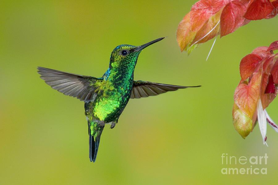 Fauna Photograph - Western Emerald Hummingbird by Anthony Mercieca