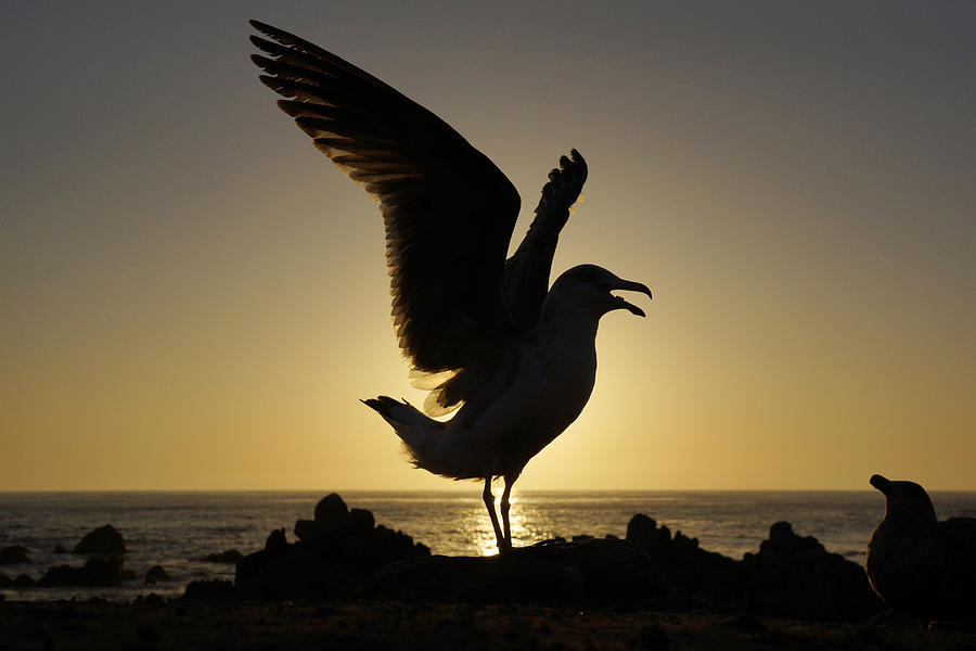 Western Gull Stretching At Sunset Photograph by Hiroya Minakuchi