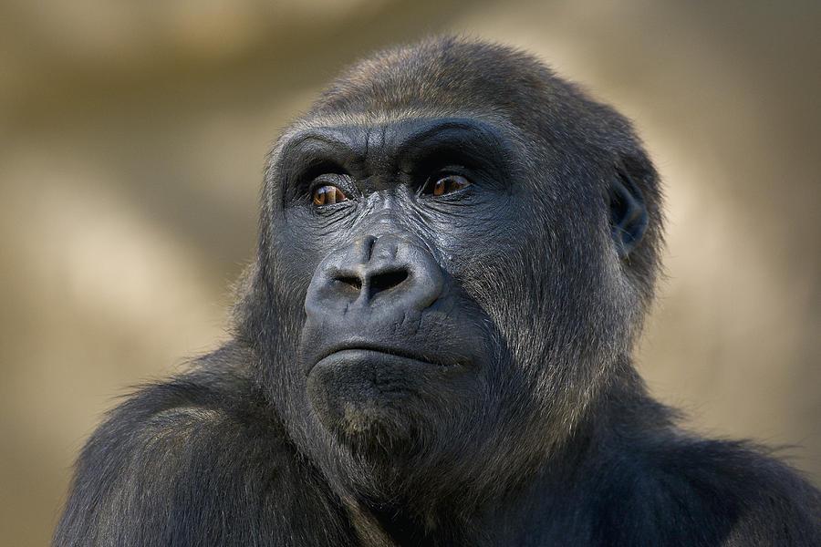 Western Lowland Gorilla Portrait Photograph by San Diego Zoo