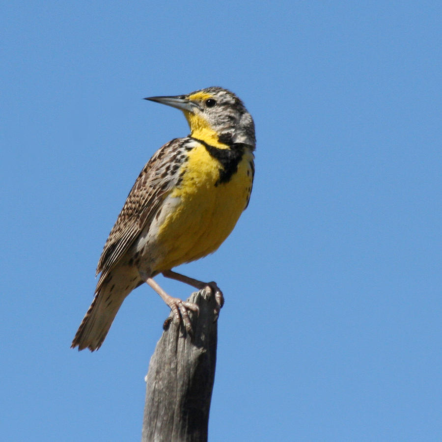 Lark Photograph - Western Meadowlark Perching by Bob and Jan Shriner