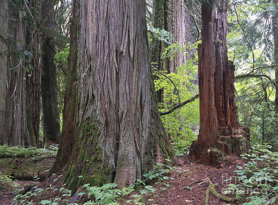 Red Cedar Forest ~ Western red cedar grove photograph by tim fitzharris