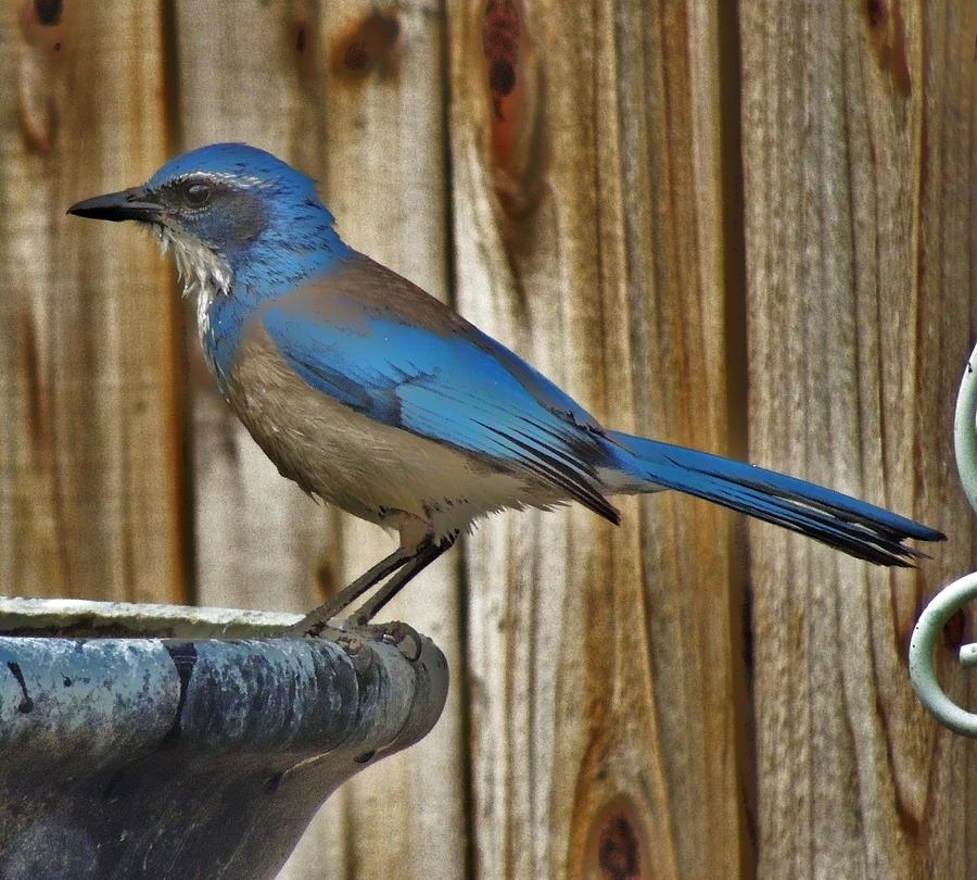 Western Scrub Jay Photograph - Western Scrub Jay by Helen Carson