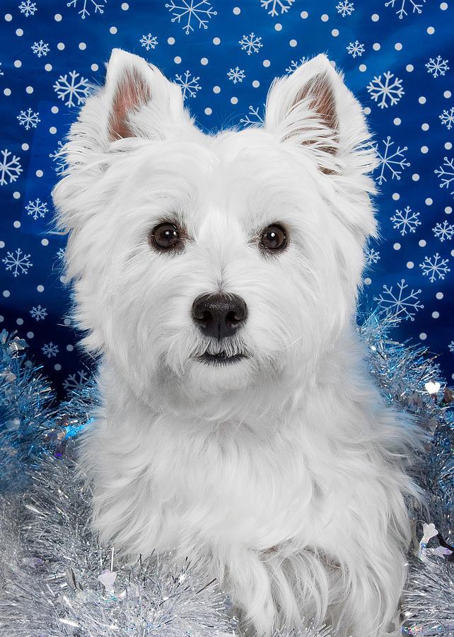 Westie Photograph - Westie Holiday Portrait by Heidi Marcinik