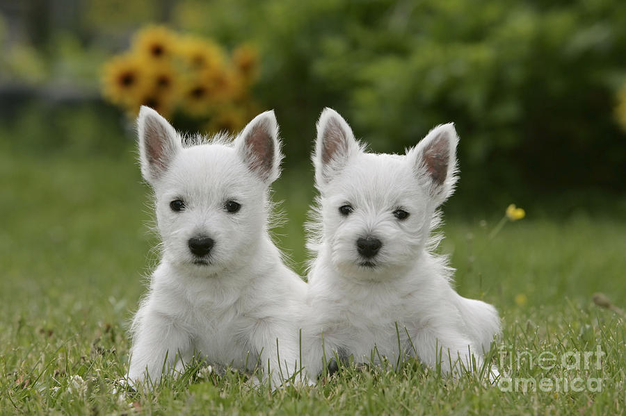 West Highland White Terrier Photograph - Westie Puppies by Rolf Kopfle