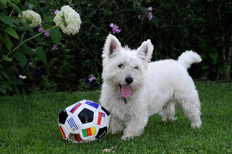 Dog Photograph - Westie World Cup by Geraldine Alexander