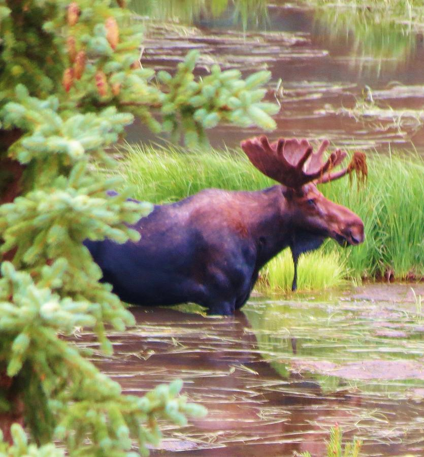 Moose Photograph - Wet And Wild by Feva  Fotos
