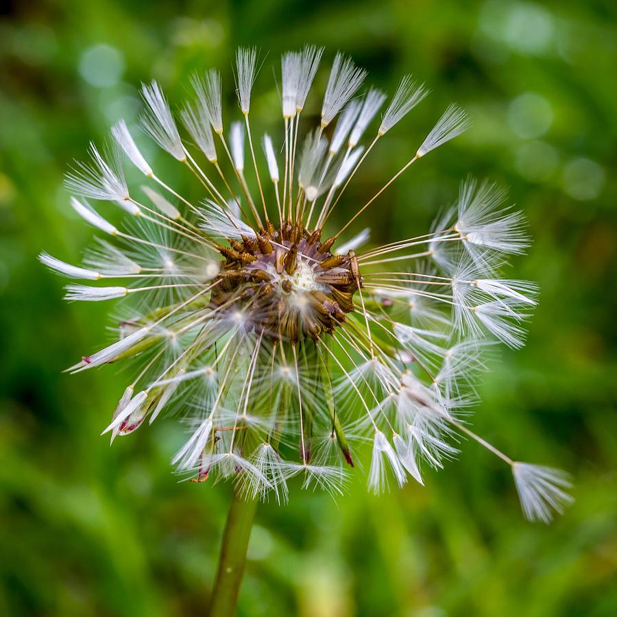 Dandelion Photograph - Wet Dandelion. by Gary Gillette
