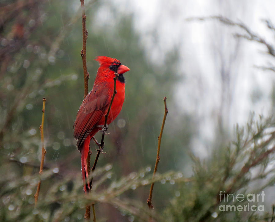 Cardinal Photograph - Wet Day by Jon Munson II