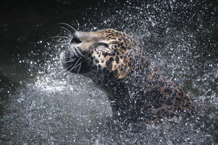 Singapore Photograph - Wet Jaguar  by Shoal Hollingsworth