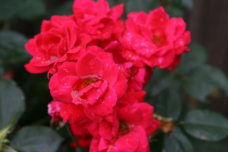 Wet Roses Photograph by Debbie Sikes