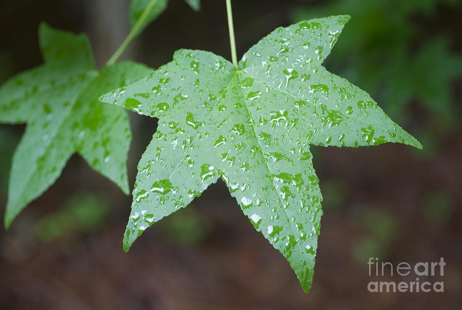 Sweetgum Photograph - Wet Sweetgum Leaf by Jonathan Welch