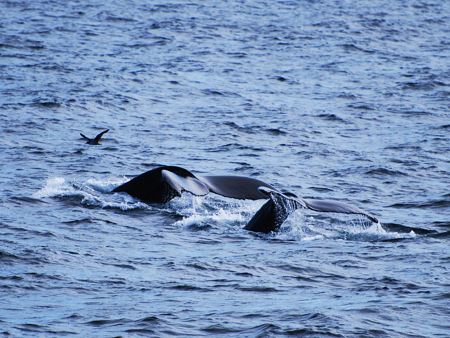 Cape Cod Photograph - Whale 2 by Lorena Mahoney